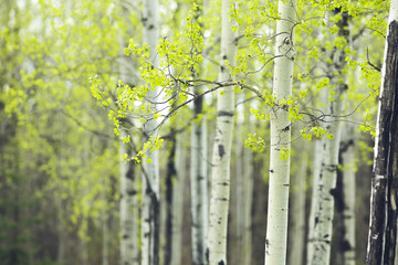 Photo sur Aluminium Bosquet de bouleaux birch forest spring