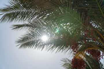 A look at the sun from under the date palm