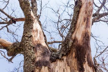 Dry Tree Bark Skin