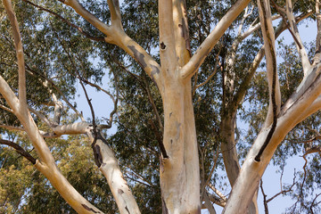 Large Gum Tree