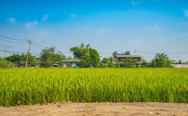 Rice Field and Farmer house - Selective focus