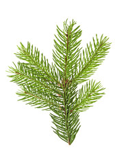 Fir branch isolated on a white background