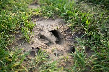 Footprint of the wild boar on the ground. Slovakia