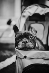 french bulldog in a baby carriage
