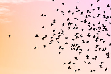 Flock of black birds against a pink and orange sunset sky