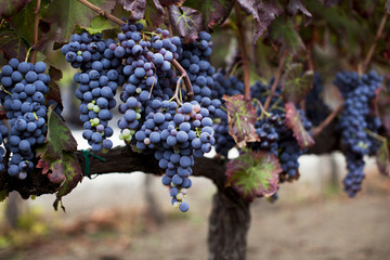 Purple Grapes Ready for Harvest