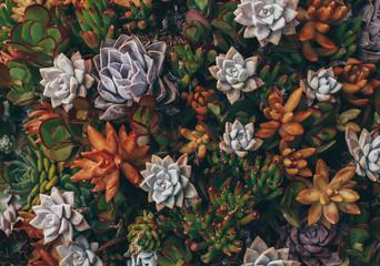 Colorful succulents in California