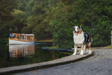 beautiful dog  standing by the river with a boat passing by