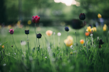 Tulips on a green grass background