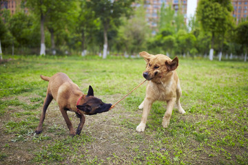 Malinois and golden retriever playing outdoor