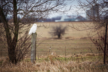 Image of a pure white snow owl sitting serenely on a fence post