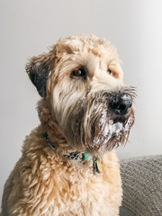 Wheaten terrier with snow on his face