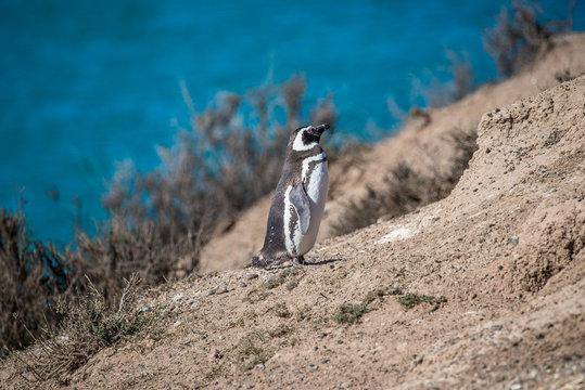Magellanic penguins at the nest, peninsula Valdes, Patagonia