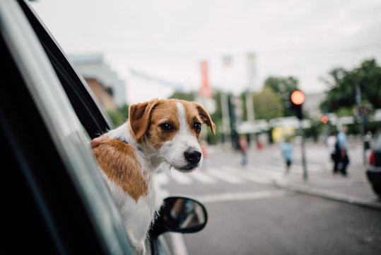 Dog looking through the car window