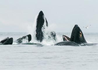 Humpback whales bubble net feeding in Alaska