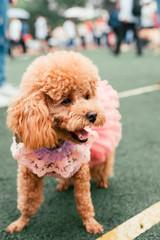 Poodle dog wearing pink skirt