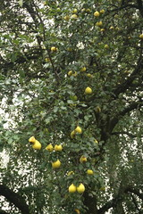 yellow pears on a tree