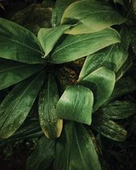 Closeup of Wet Big Leaves