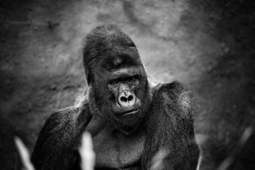 Portrait of a gorilla male, severe silverback, on light brown blur background. Grave look of the great ape, the most dangerous and biggest monkey of the world. The chief of a gorilla family. APE