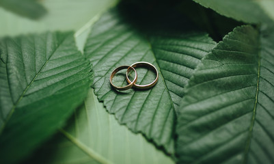 Golden wedding rings . Wedding ring with space for text. Stylish wedding rings on beautiful fresh green leaves of a plant love concept. Rings on a tree branch. Wedding jewelry.