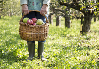 Active matured woman harvesting apple in autumn