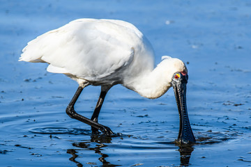 Royal Spoonbill on the bay