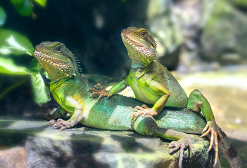 Lizard families together with the couple in the tree is looking to the future so cute when watching them in zoo