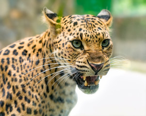 Portrait of leopard prints angry in the natural world. This is an animal belonging to the cat family needs to be preserved in nature