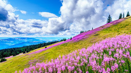 Hiking through alpine meadows covered in pink fireweed wildflowers in the high alpine near the village of Sun Peaks, in the Shuswap Highlands in central British Columbia Canada Fototapete