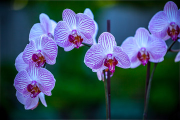 White end violet orchid flowers, horizontal natural blurred green background.