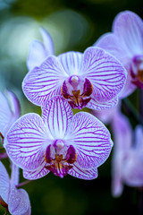 White end violet orchid flowers, vertical natural blurred green background.