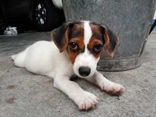 Jack Russell Terrier puppy lying on the floor, selective focus.