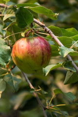 Close up of a ripening apple on the tree. Photographed with a shallow depth of field in natural light.