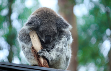Papiers peints Koala Koala Hospital