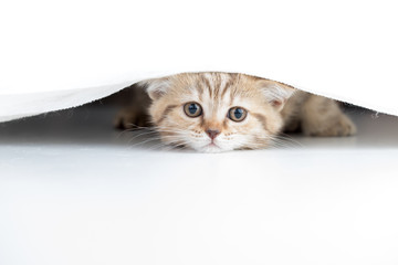 Papier Peint - Funny cat looking from under white curtain