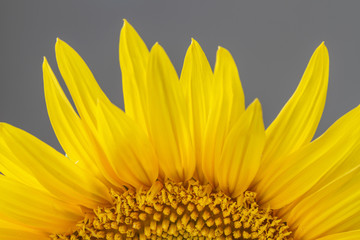 Close up or macro view of part of a sunflower on gray background. Selective focus