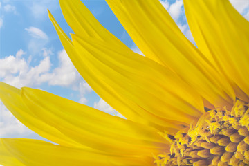 A part of a sunflower on blue sky background with clouds. Selective focus