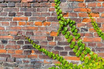 Red and gray brick wall with climbing ivy