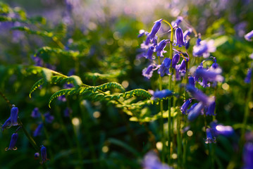 beautiful bluebells in spring forest, natural background with bokeh
