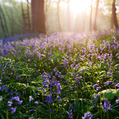 beutiful sunrise in bluebells forest in springtime, Halle forest near Brussels, Belgium