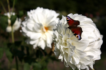 Butterfly on a large white flower