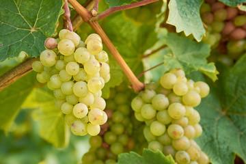 weiße Weintrauben am Weinstock