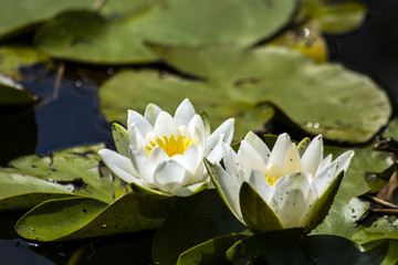 Two white water lily flowers