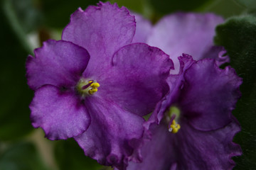African violet pot flowers on a blurred background.