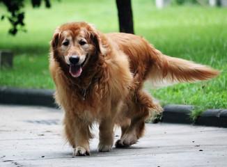 A Beautiful Dog Walking