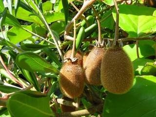Trois kiwis mûrs sur une branche