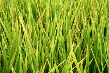 Mildew on rice leaf in rice field