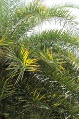 Leaves palm with the nature