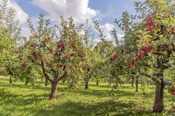 Apfelbäume auf dem Lohrberg in Frankfurt am Main