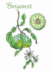 Bergamot with fruits and flowers, hand drawn watercolor and liner, isolated on white background.